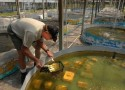 Cultivation of crayfish
